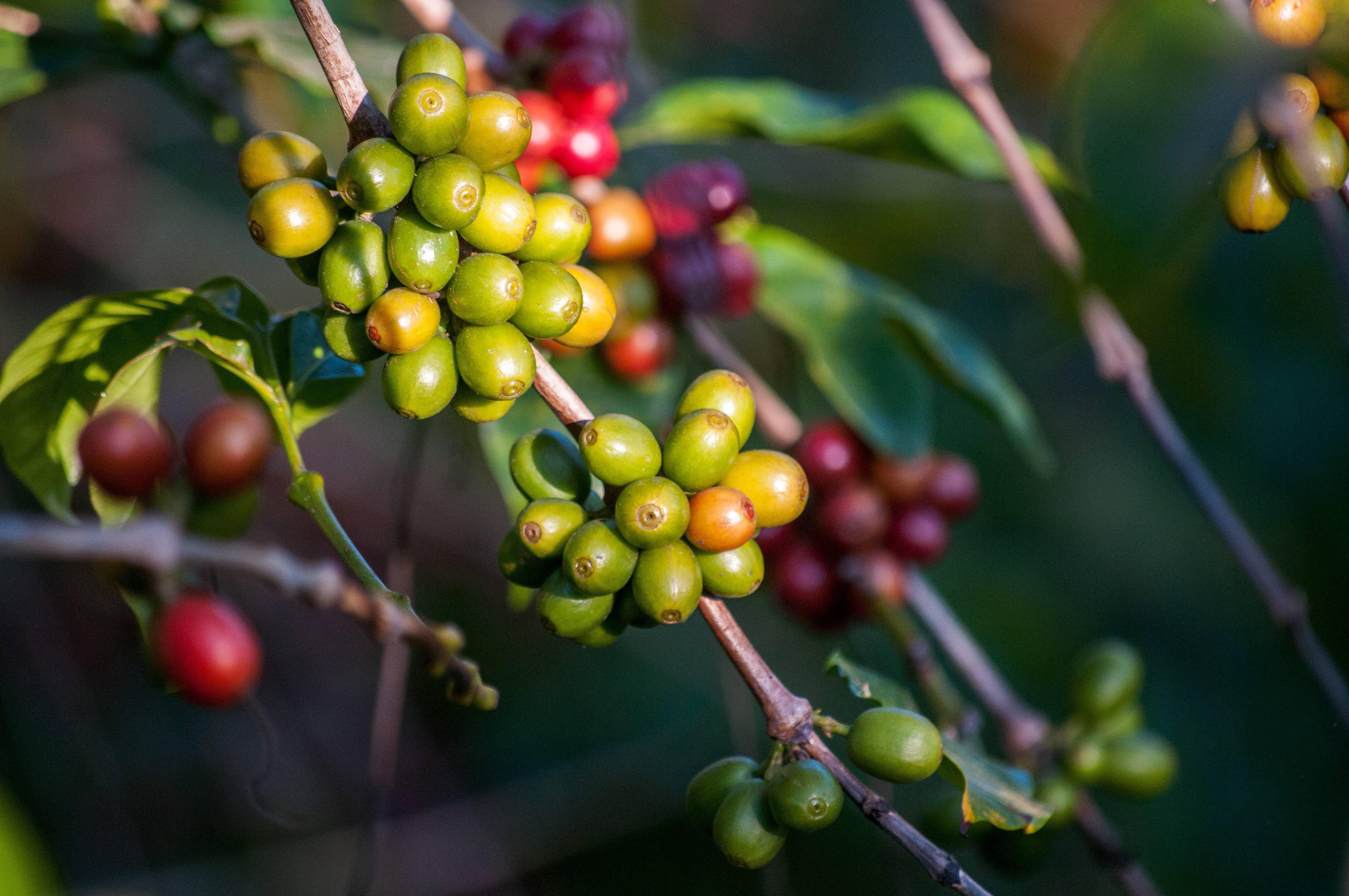 Kaffeebohnen in grüner und roter Farbe an einem Strauch.