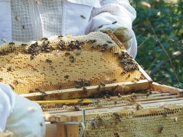 Im Herzstück jeder Wabenwand ist die Brut, ringsherum sind kranzförmig Waben für das aus Pollen und Nektar bestehende Futter angeordnet.