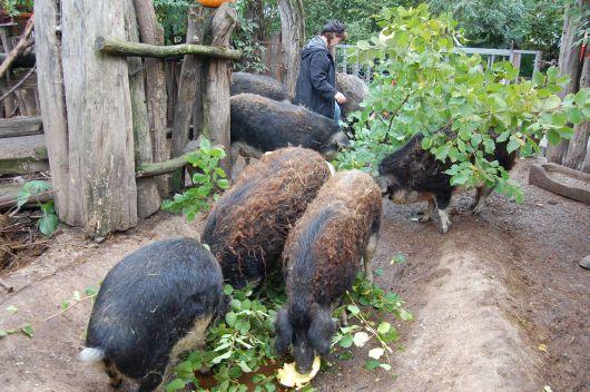 Auch Kürbisse und Blätter stehen auf dem Speiseplan der Wollschweine.