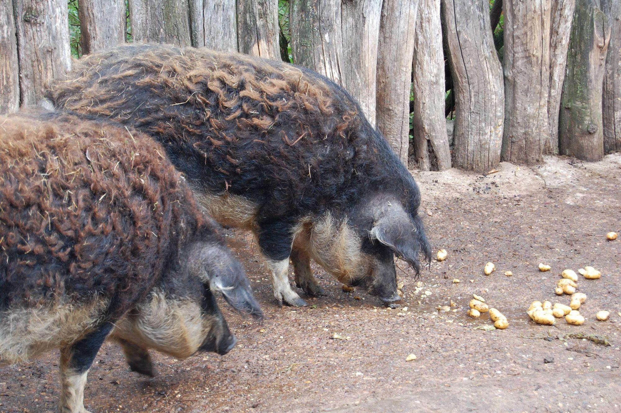 Die Wollschweine von Christel Dziura-Hock und Armin Hock in Schweinheim (Dekanat Aschaffenburg-Stadt) haben Kartoffeln zum Fressen gern.