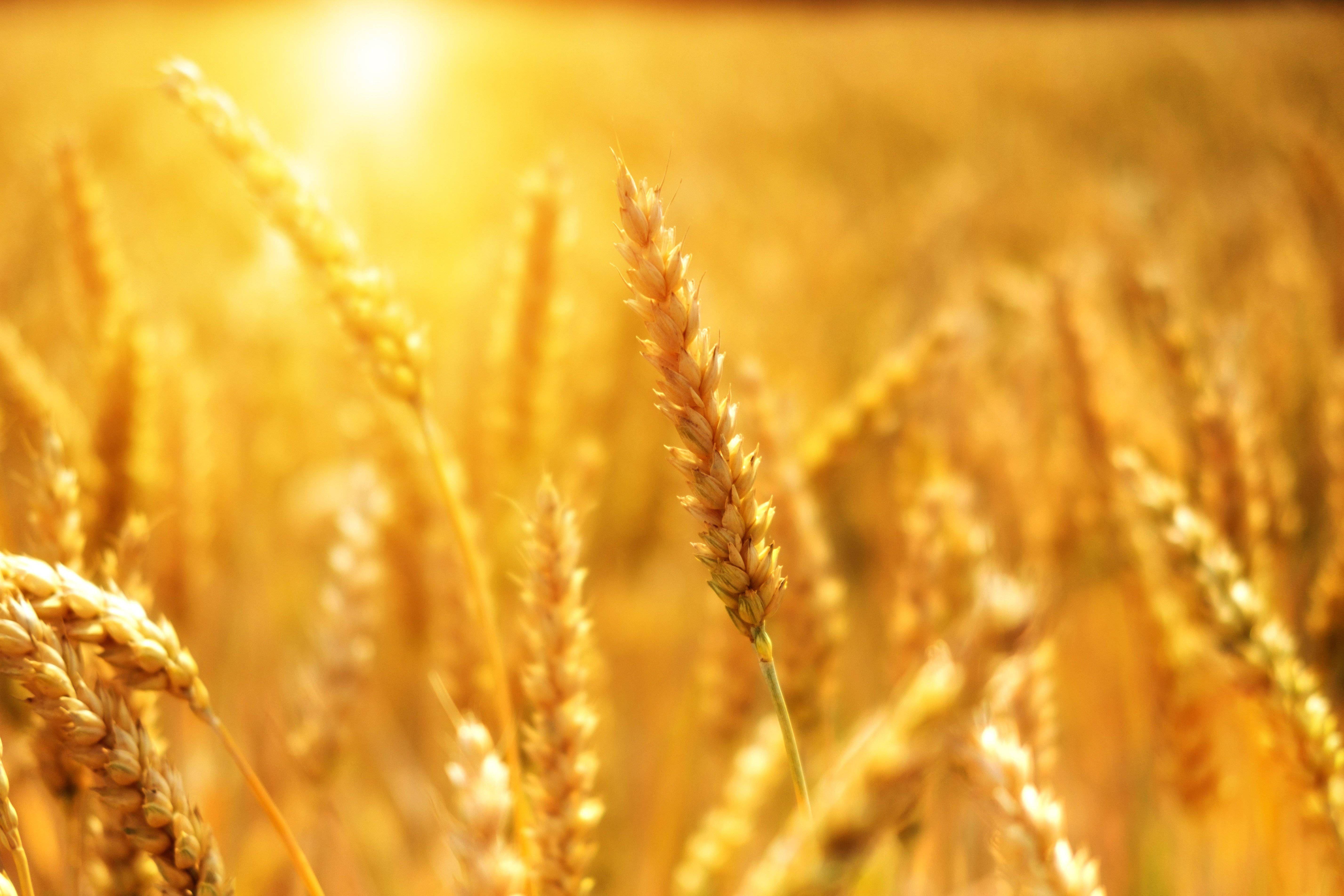 Ein Kornfeld wird von der Sonne beschienen. Die Getreidehalme stehen in goldenem Licht.