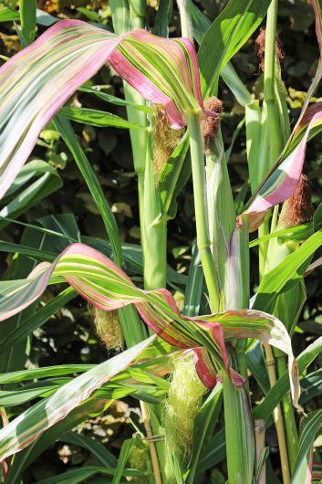 Ein hübsches grün-rotes Streifenmuster zweigen die Blätter der Maissorte Japonica.