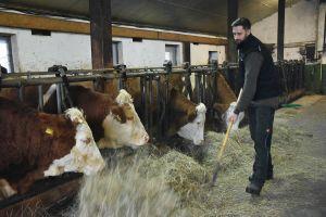 Die Ländliche Familienberatung hilft Landwirten in äußerst schwierigen Zeiten: Statt eigene Milchkühe zu halten, nimmt Christoph Rothhaupt heute Aufzugsrinder in Pension.